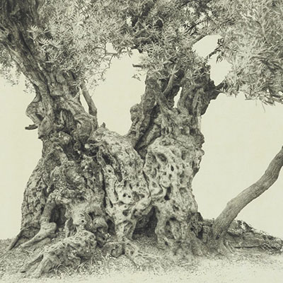 Every Olive Tree in the Garden of Gethsemane: Wendy Babcox