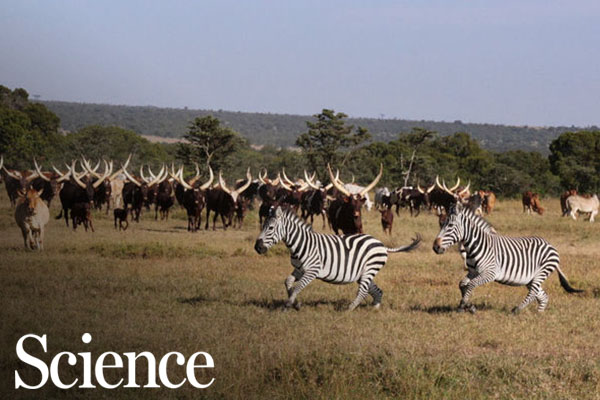 The best way to help cows and zebras? Make them live together
