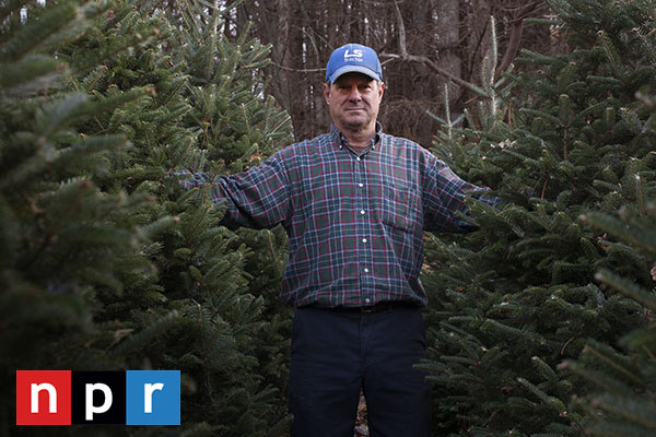 A Christmas Tree Thrives On Farms, Struggles In The Wild [faculty quoted]
