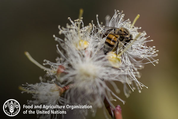 World Bee Day 2020: FAO calls for more to be done to safeguard our tiny food heroes, amid alarming decline [faculty mentioned]