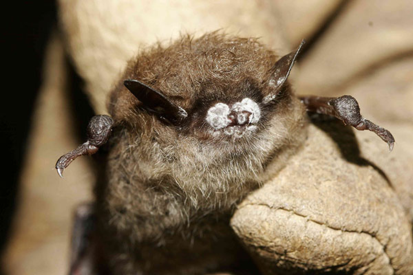 App State funded to study rare bats along Blue Ridge Parkway area, investigate disease